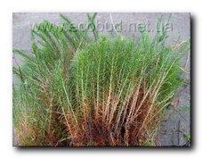 мох будівельний Зозулін льон (Polytrichum)
