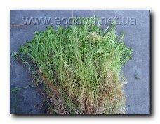 мох будівельний сфагнум (Sphagnum)